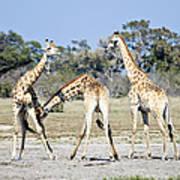 Necking Giraffes Botswana Poster