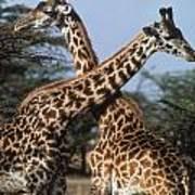 Necking Giraffes Poster