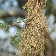 Nest Of Altamira Oriole Icterus Gularis Poster