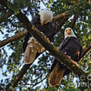 Nesting Bald Eagles Perching Poster