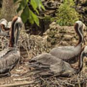 Nesting Brown Pelicans Poster