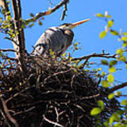 Nesting Great Blue Heron Poster