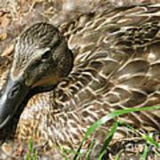 Nesting Mallard Poster