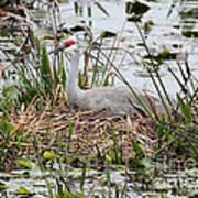 Nesting Sandhill Crane Poster