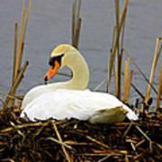 Nesting Swan Poster
