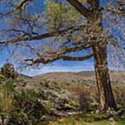 Nevada Cottonwood Poster