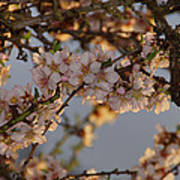 New Blossoms - Old Almond Tree Poster