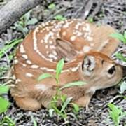New Born Fawn Poster