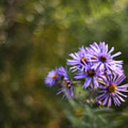 New England Asters Poster