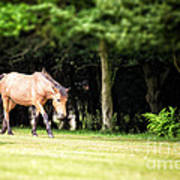 New Forest Pony Poster
