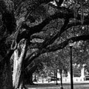 New Orleans Oaks Poster