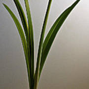 An Emerging Amaryllis Poster