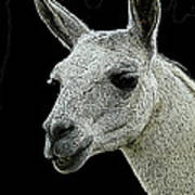 New Photographic Art Print For Sale   Portrait Of  Llama Against Black Poster