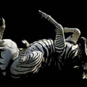Frolicking Zebra On Black Poster
