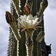 New Photographic Art Print For Sale White Cactus Flower Poster