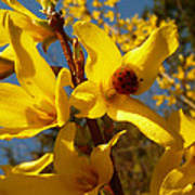 New Season - Old Friend  ... Forsythia In Springtime Poster