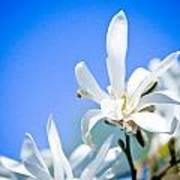 New White Magnolia Blossom Poster