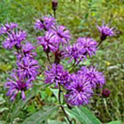 New York Ironweed Wildflower - Vernonia Noveboracensis Poster