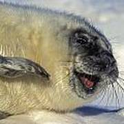 Newborn Gray Seal Pup Halichoerus Poster