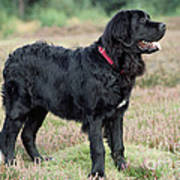 Newfoundland Dog, Standing In Field Poster