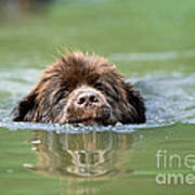 Newfoundland Dog, Swimming In River Poster