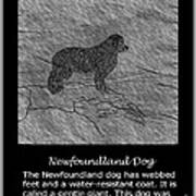 Newfoundland Dog Vintage Sketch Poster