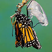 Newly-emerged Monarch Butterfly Poster