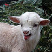 Nigerian Baby Goat 3 Of 8 Poster