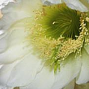 Night Blooming Cereus Cactus Poster