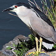 Night Heron Bird Poster by Diane Rada