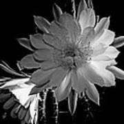 Nightblooming Cereus Cactus Flower Poster