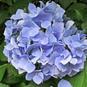 Nikko Blue Hydrangea Poster