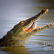 Nile Crocodile Swollowing Fish Poster