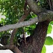 Nispero Tree Poster
