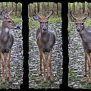 Curious Yearling Deer Poster
