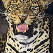 No Solicitors African Leopard Endangered Species Wildlife Rescue Poster