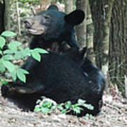 Bear - Cubs - Mother Nursing Poster