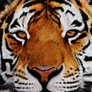 Nobility   Amur   Siberian  Tiger Poster