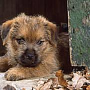 Norfolk Terrier Puppy By Barn Door Poster