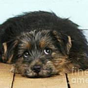 Norfolk Terrier Puppy Poster