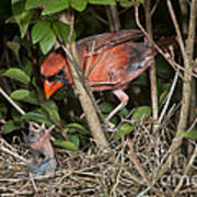 Northern Cardinal At Nest Poster