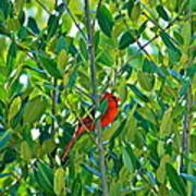 Northern Cardinal Hiding Among Green Leaves Poster by Cyril Maza