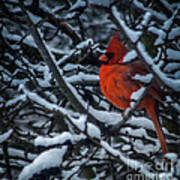 Northern Cardinal In Winter Poster