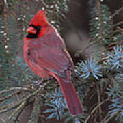 Northern Cardinal Poster by John Kunze