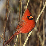 Northern Cardinal Male Long Island Poster