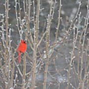 Northern Cardinal -male Poster