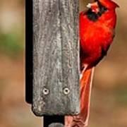 Northern Cardinal Poster