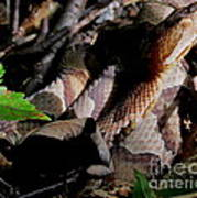 Northern Copperhead Poster