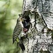 Northern Flicker Nest Poster