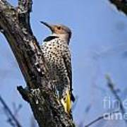 Northern Flicker Pictures 8 Poster